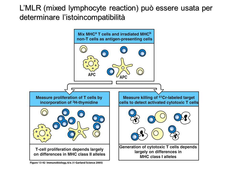 MLR: BALB/c MHC APLOTYPE d C57BL/6 MHC APLOTYPE b Purificaz MHC-d T cell Purificaz MHC-d splenociti Purificaz MHC-b T cell Purificaz MHC-b splenociti