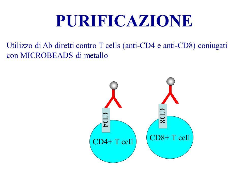 PURIFICAZIONE Utilizzo di Ab diretti contro T cells (anti-CD4 e anti-CD8) coniugati con MICROBEADS di metallo Y CD4+ T cell CD4 Y CD8+ T cell CD8
