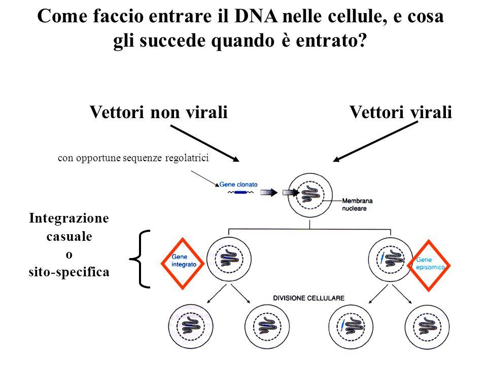 Come faccio entrare il DNA nelle cellule, e cosa gli succede quando è entrato? Vettori viraliVettori non virali Integrazione casuale o sito-specifica