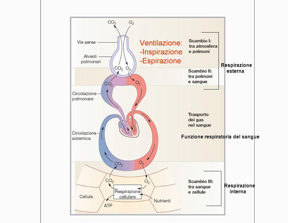 Funzione respiratoria del sangue Respirazione esterna Respirazione interna Funzione respiratoria del sangue