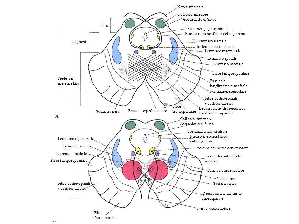 Nervo trocleare Collicolo inferiore Acquedotto di Silvio Sostanza grigia centrale Nucleo mesencefalico del trigemino Lemnisco laterale Nucleo nervo tr