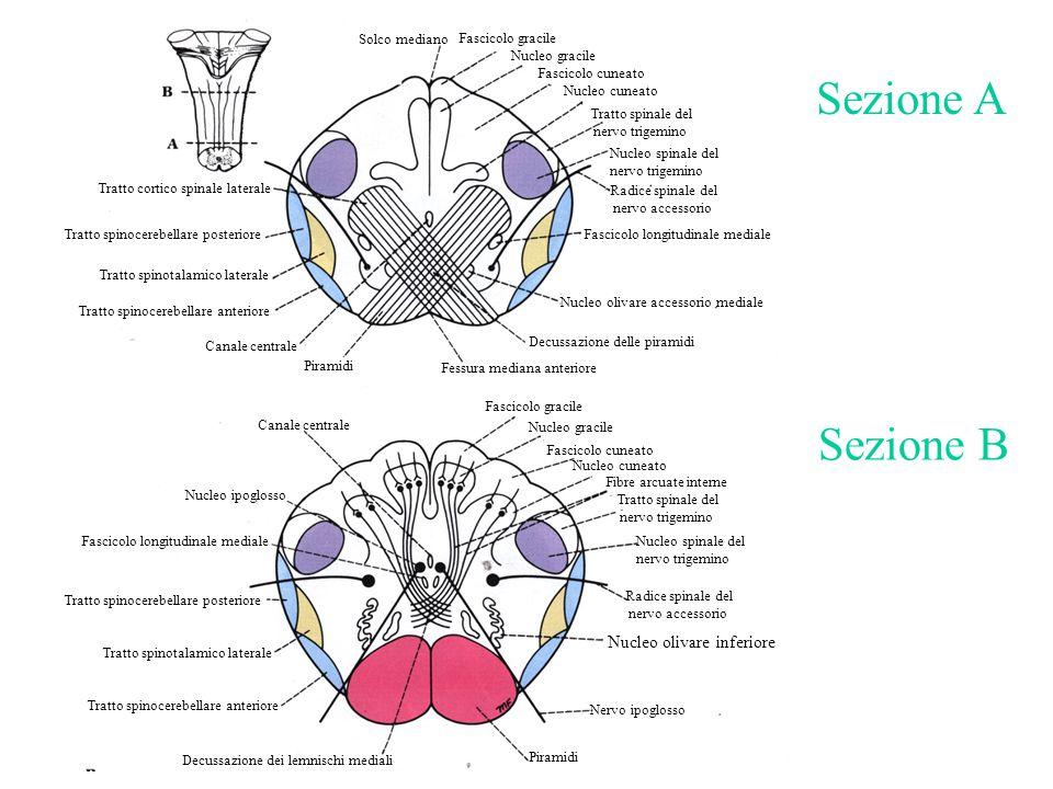 Fascicolo gracile Tratto spinocerebellare posteriore Fessura mediana anteriore Piramidi Decussazione delle piramidi Fibre arcuate interne Tratto spina