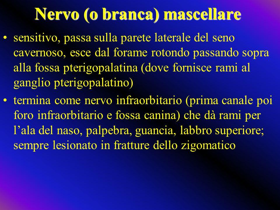 Nervo (o branca) mascellare sensitivo, passa sulla parete laterale del seno cavernoso, esce dal forame rotondo passando sopra alla fossa pterigopalati