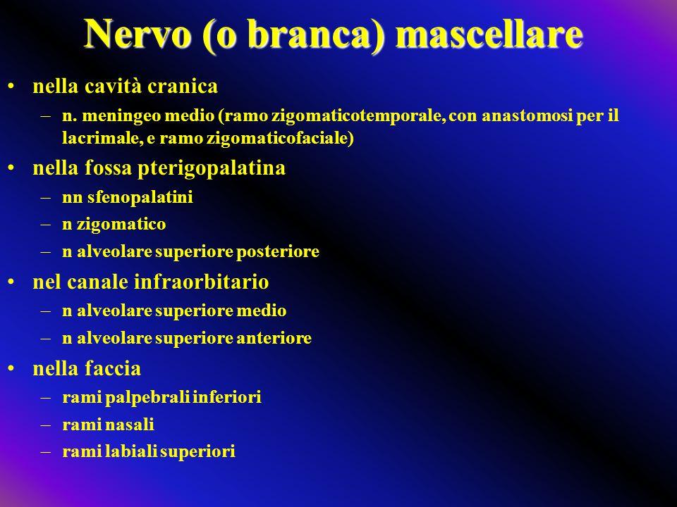 Nervo (o branca) mascellare nella cavità cranica –n. meningeo medio (ramo zigomaticotemporale, con anastomosi per il lacrimale, e ramo zigomaticofacia