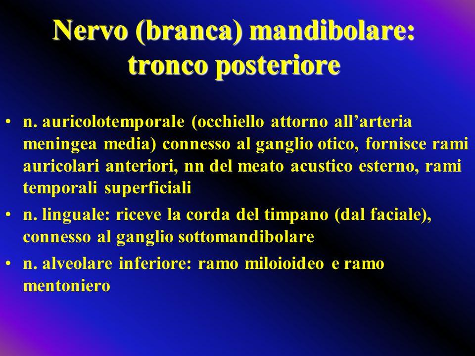 Nervo (branca) mandibolare: tronco posteriore n. auricolotemporale (occhiello attorno all'arteria meningea media) connesso al ganglio otico, fornisce