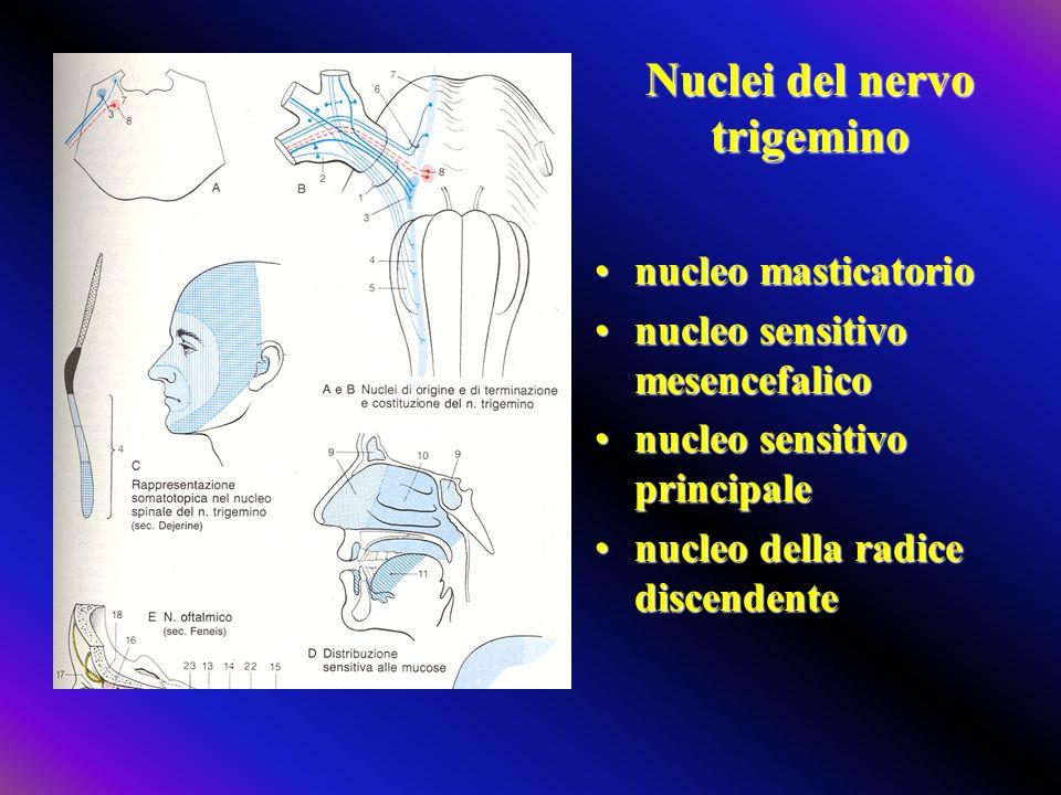Nuclei del nervo trigemino nucleo masticatorionucleo masticatorio nucleo sensitivo mesencefaliconucleo sensitivo mesencefalico nucleo sensitivo princi