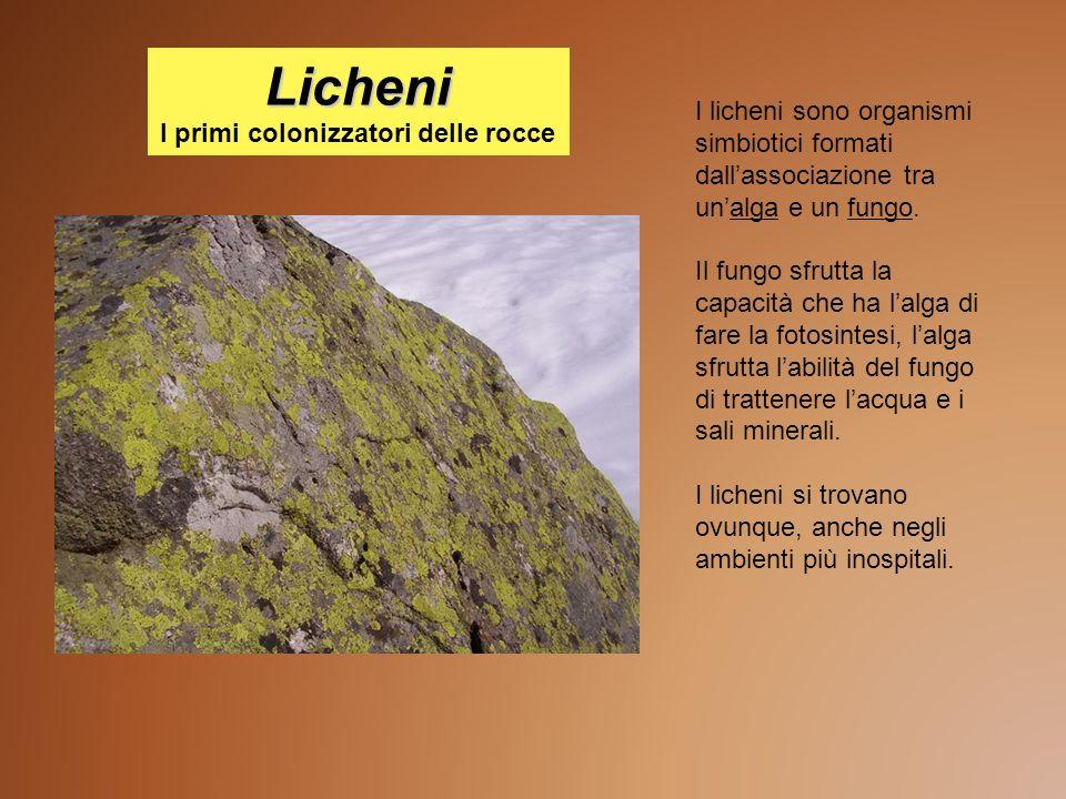 Licheni Licheni I primi colonizzatori delle rocce I licheni sono organismi simbiotici formati dall'associazione tra un'alga e un fungo. Il fungo sfrut