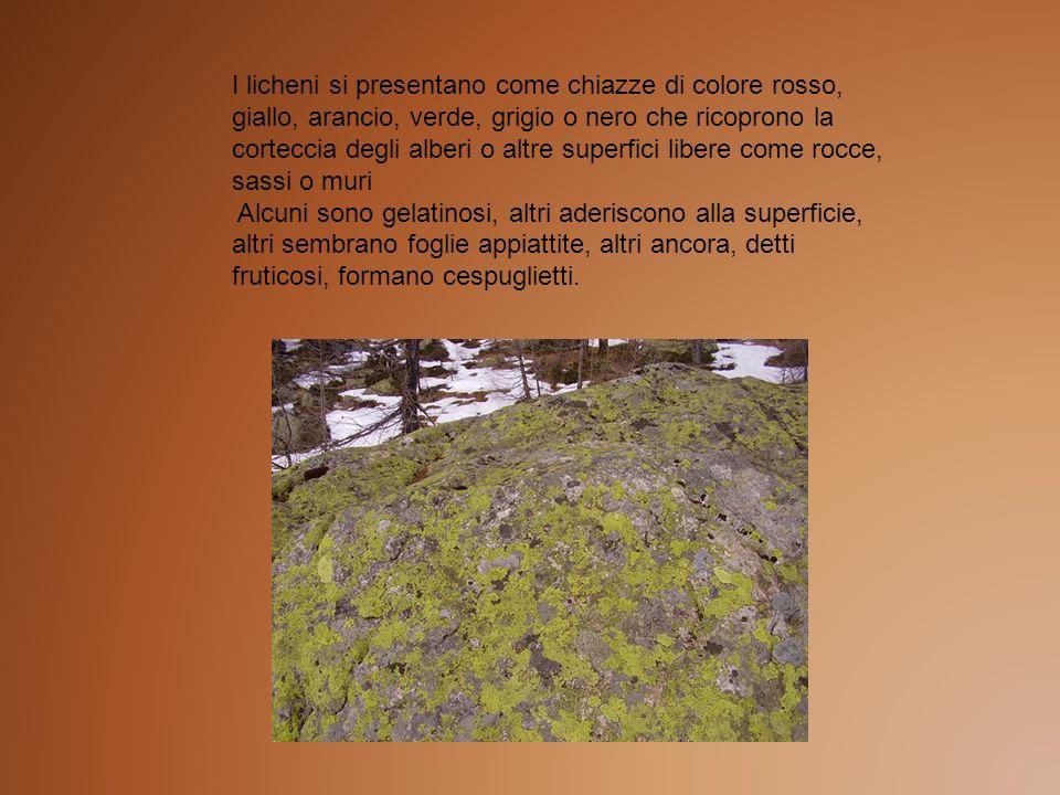 I licheni si presentano come chiazze di colore rosso, giallo, arancio, verde, grigio o nero che ricoprono la corteccia degli alberi o altre superfici