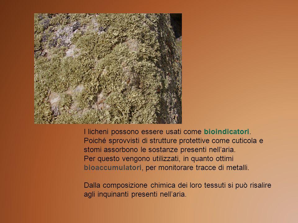 I licheni possono essere usati come bioindicatori. Poiché sprovvisti di strutture protettive come cuticola e stomi assorbono le sostanze presenti nell