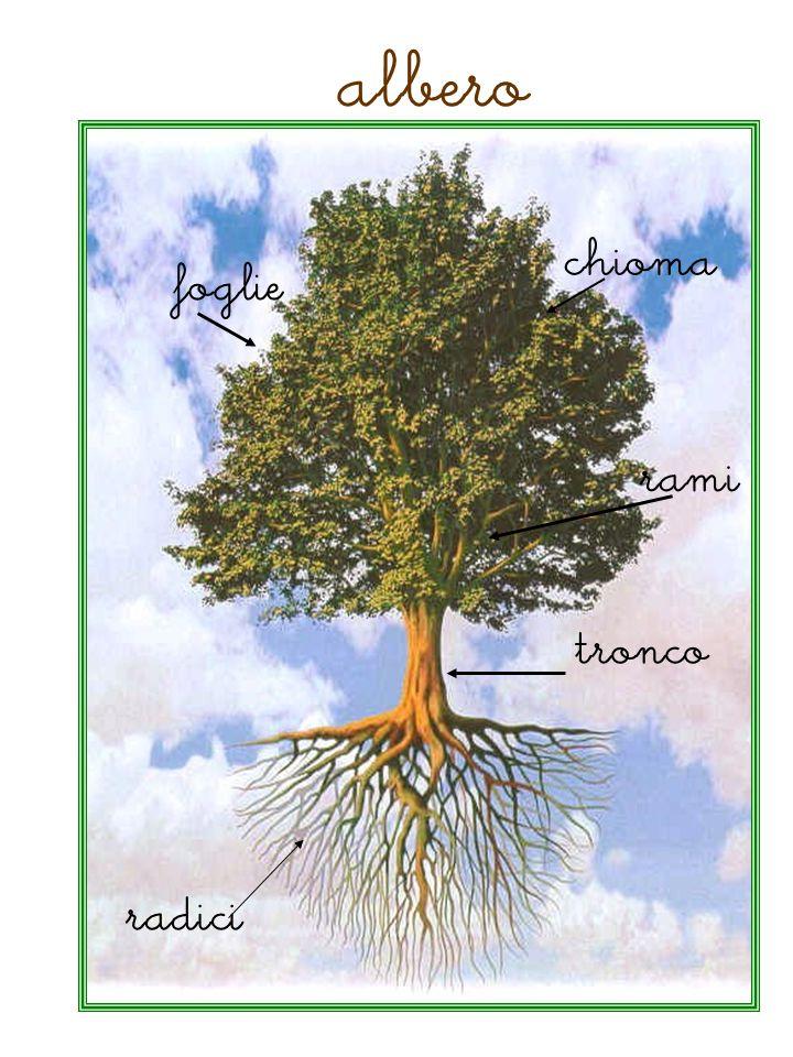 albero radici tronco foglie rami chioma