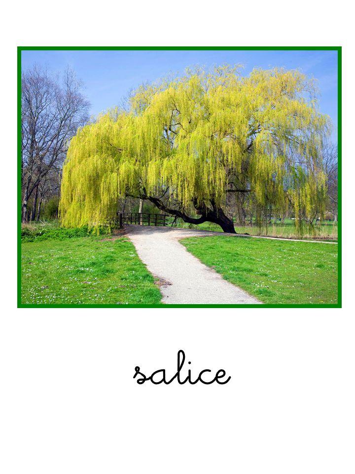 La Quercia è un albero forte e maestoso, alto fino a 30 metri, può raggiungere i 1000 anni di vita, il suo tronco è robusto e da esso si diramano dei grossi rami che formano una grande chioma; le foglie obovate sono grandi con incisioni poco profonde.