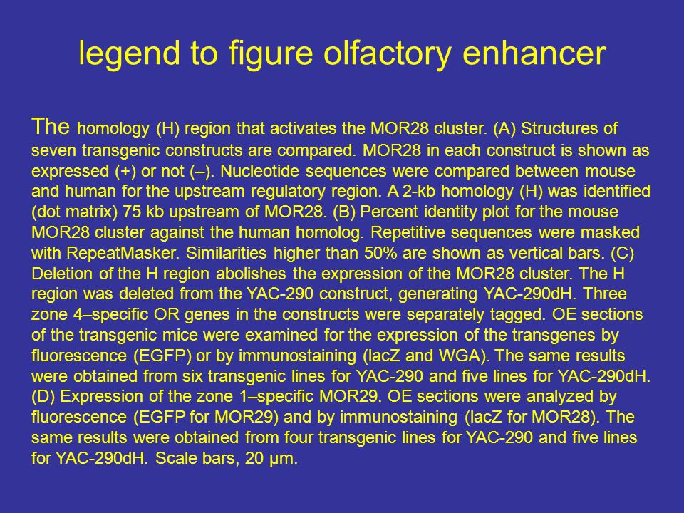 legend to figure olfactory enhancer The homology (H) region that activates the MOR28 cluster. (A) Structures of seven transgenic constructs are compar