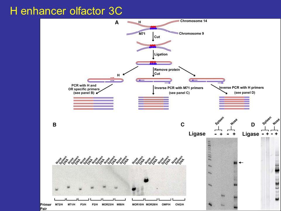 H enhancer olfactor 3C