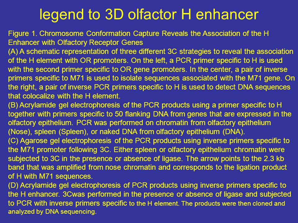 legend to 3D olfactor H enhancer Figure 1. Chromosome Conformation Capture Reveals the Association of the H Enhancer with Olfactory Receptor Genes (A)