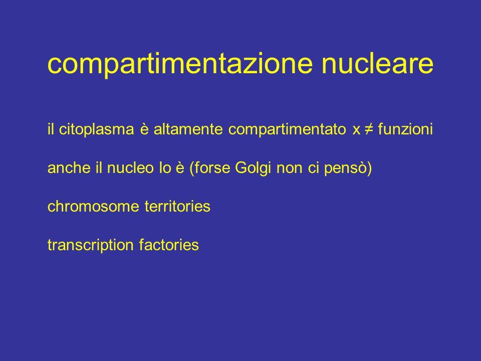 compartimentazione nucleare il citoplasma è altamente compartimentato x ≠ funzioni anche il nucleo lo è (forse Golgi non ci pensò) chromosome territories transcription factories