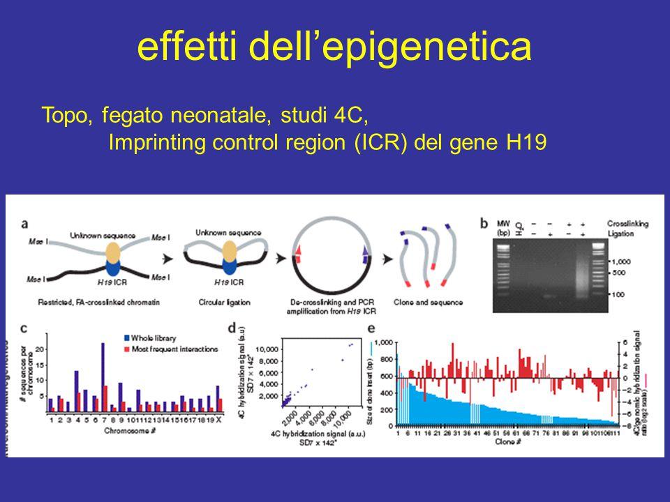 effetti dell'epigenetica Topo, fegato neonatale, studi 4C, Imprinting control region (ICR) del gene H19