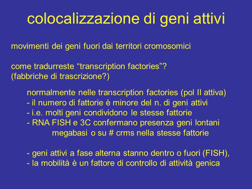 colocalizzazione di geni attivi movimenti dei geni fuori dai territori cromosomici come tradurreste transcription factories .