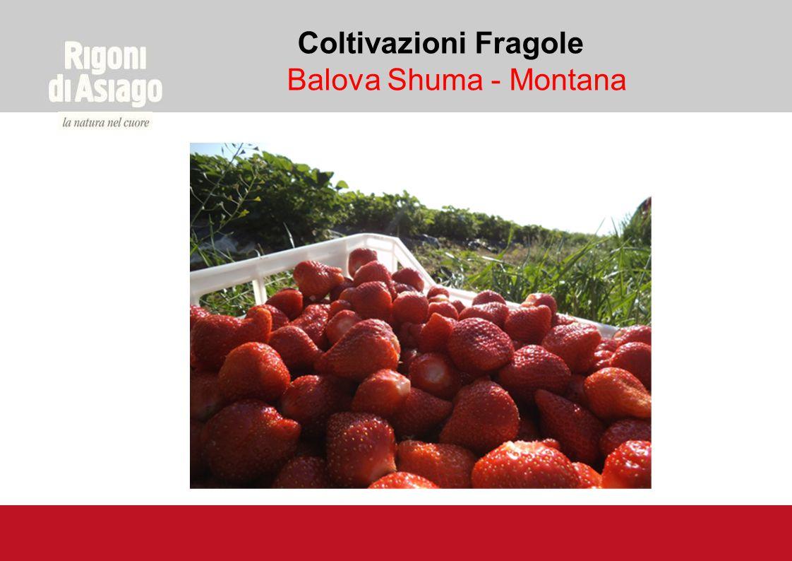FESTA DELLA FRAGOLA BIOLOGICA Ogni anno, nel podere di Borovtsi nella regione di Montana, dove si trovano le piantagioni principali, si svolge la Festa della fragola biologica.