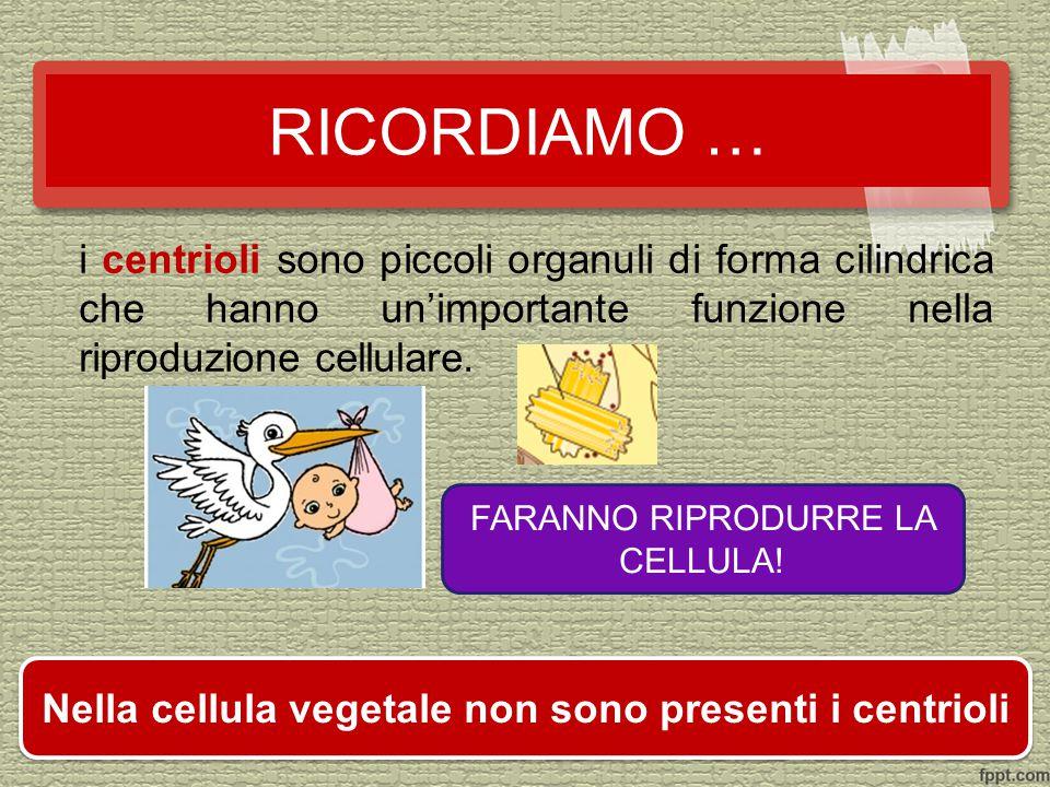 i centrioli sono piccoli organuli di forma cilindrica che hanno un'importante funzione nella riproduzione cellulare.