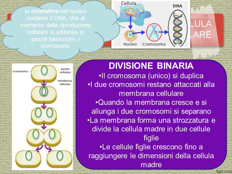 DIVISIONE BINARIA Il cromosoma (unico) si duplica I due cromosomi restano attaccati alla membrana cellulare Quando la membrana cresce e si allunga i due cromosomi si separano La membrana forma una strozzatura e divide la cellula madre in due cellule figlie Le cellule figlie crescono fino a raggiungere le dimensioni della cellula madre CASO N.