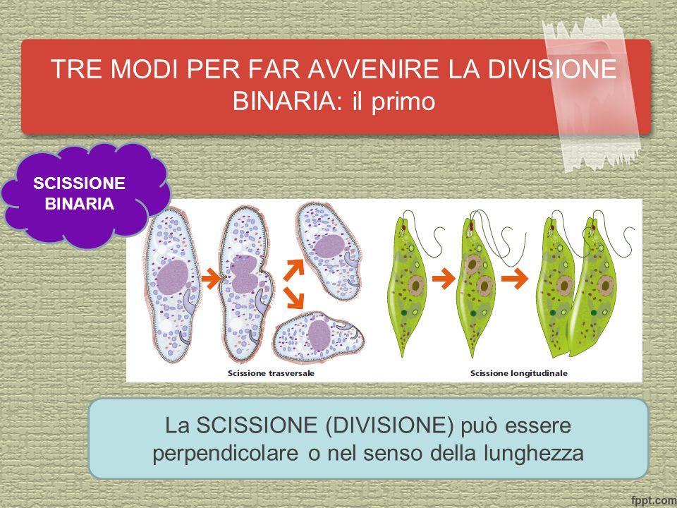 TRE MODI PER FAR AVVENIRE LA DIVISIONE BINARIA: il primo SCISSIONE BINARIA La SCISSIONE (DIVISIONE) può essere perpendicolare o nel senso della lunghezza