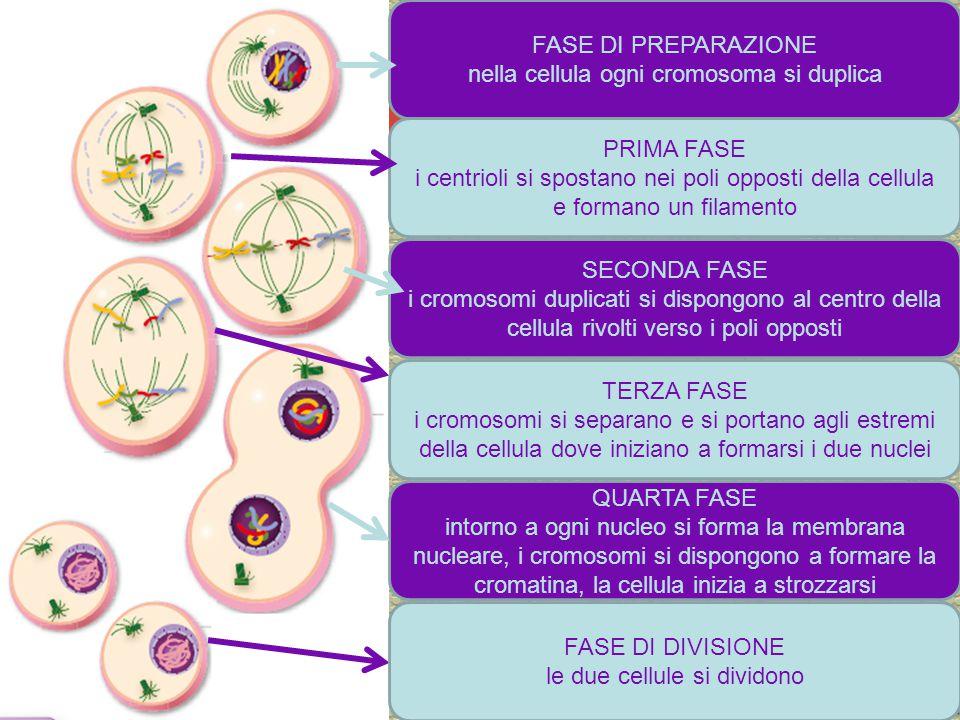 FASE DI PREPARAZIONE nella cellula ogni cromosoma si duplica PRIMA FASE i centrioli si spostano nei poli opposti della cellula e formano un filamento SECONDA FASE i cromosomi duplicati si dispongono al centro della cellula rivolti verso i poli opposti TERZA FASE i cromosomi si separano e si portano agli estremi della cellula dove iniziano a formarsi i due nuclei QUARTA FASE intorno a ogni nucleo si forma la membrana nucleare, i cromosomi si dispongono a formare la cromatina, la cellula inizia a strozzarsi FASE DI DIVISIONE le due cellule si dividono