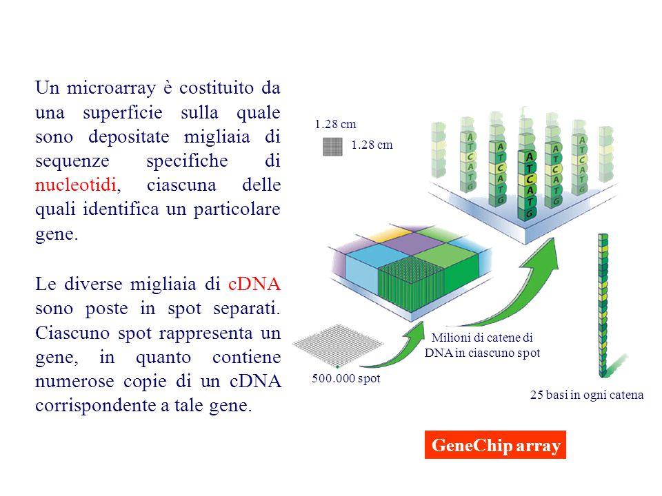 Ibridando tale superficie con cDNA ottenuti dalla retro- trascrizione dell'RNA estratto da due campioni diversi è possibile determinare il livello di espressione dei singoli geni per confronto diretto tra l'abbondanza relativa di RNA prodotto.