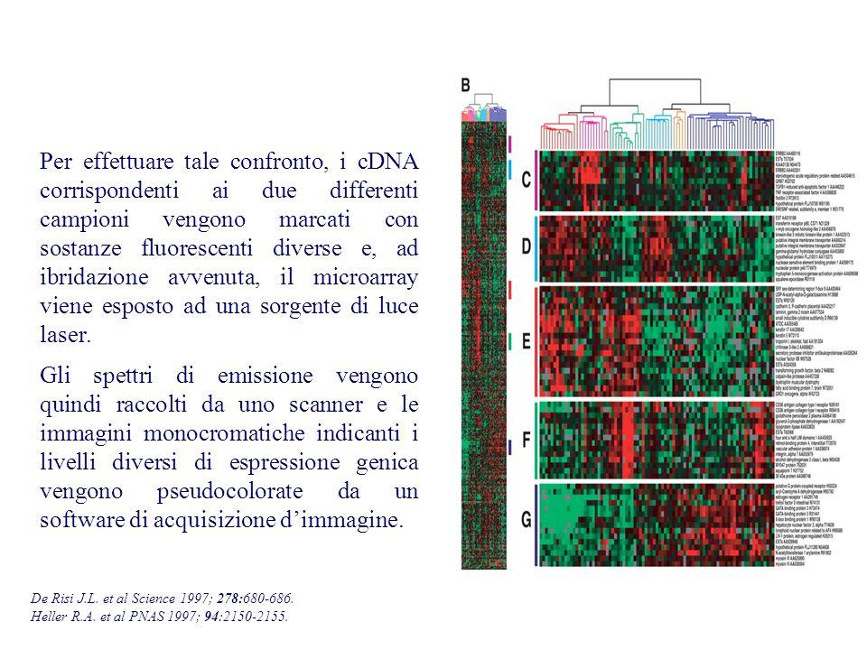 Per effettuare tale confronto, i cDNA corrispondenti ai due differenti campioni vengono marcati con sostanze fluorescenti diverse e, ad ibridazione av