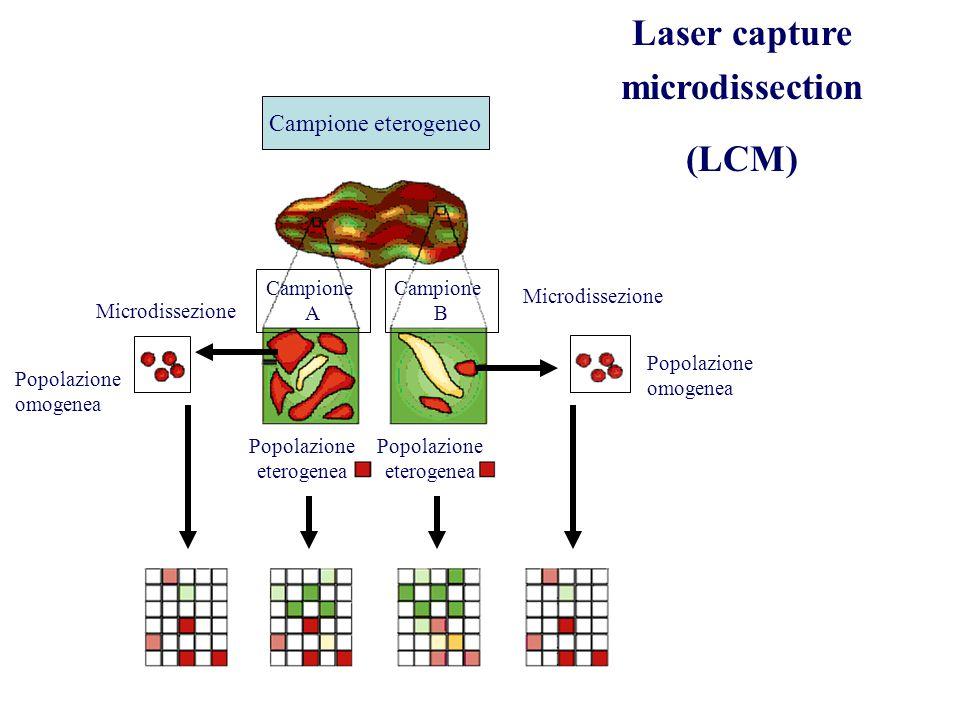 Campione eterogeneo Campione A Campione B Microdissezione Popolazione eterogenea Laser capture microdissection (LCM) Popolazione omogenea Popolazione