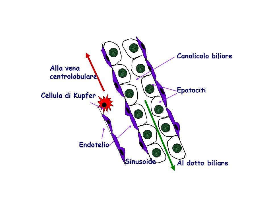 Cellula di Kupfer Alla vena centrolobulare Al dotto biliare Canalicolo biliare Epatociti Endotelio Sinusoide