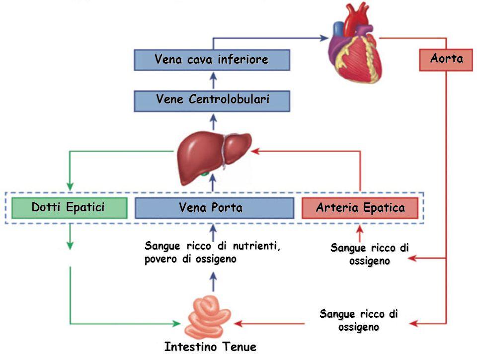 Vena cava inferiore Vene Centrolobulari Vena Porta Sangue ricco di nutrienti, povero di ossigeno Dotti Epatici Arteria Epatica Aorta Sangue ricco di ossigeno Intestino Tenue