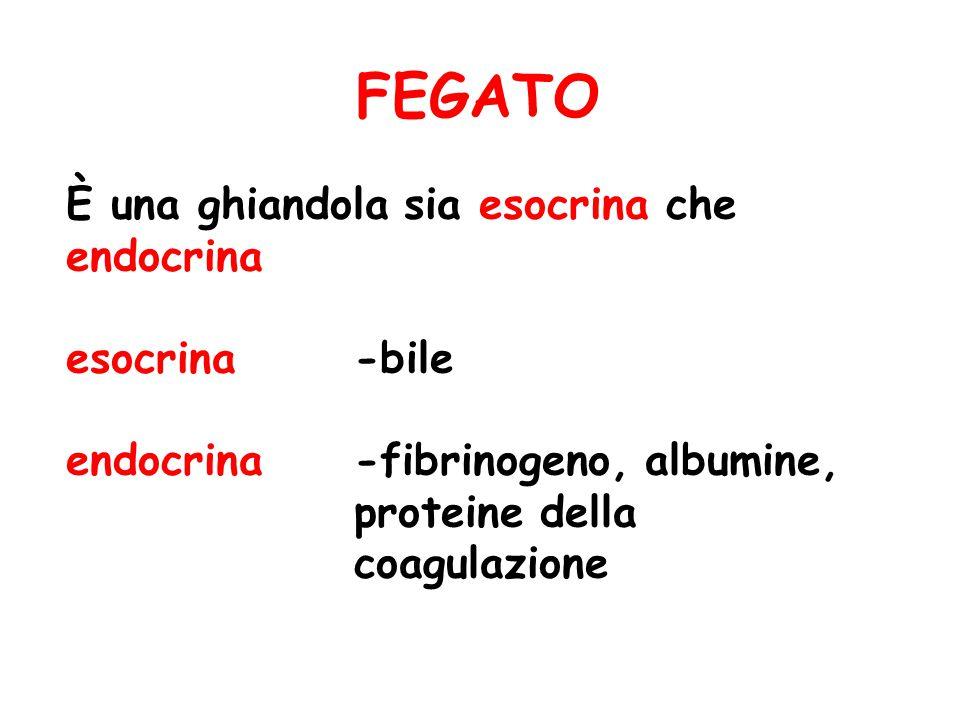 FEGATO È una ghiandola sia esocrina che endocrina esocrina-bile endocrina-fibrinogeno, albumine, proteine della coagulazione