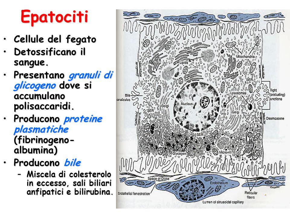 Epatociti Cellule del fegatoCellule del fegato Detossificano il sangue.Detossificano il sangue.