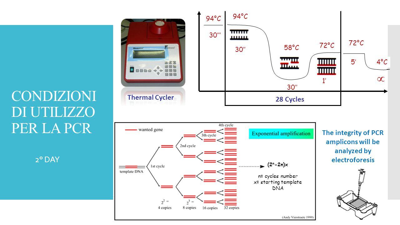CONDIZIONI DI UTILIZZO PER LA PCR  2° DAY Thermal Cycler 94°C 58°C 72°C 30'' 1' 94°C 30''' 72°C 5'4°C  28 Cycles (2 n -2n)x n= cycles number x= star