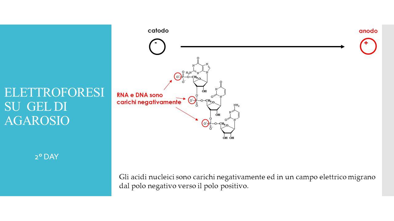  2° DAY - + RNA e DNA sono carichi negativamente catodo anodo Gli acidi nucleici sono carichi negativamente ed in un campo elettrico migrano dal polo