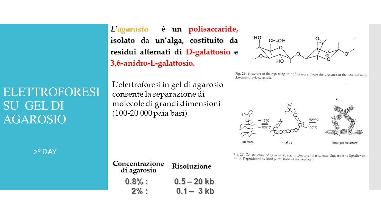 2° DAY L'agarosio è un polisaccaride, isolato da un'alga, costituito da residui alternati di D-galattosio e 3,6-anidro-L-galattosio. L'elettroforesi