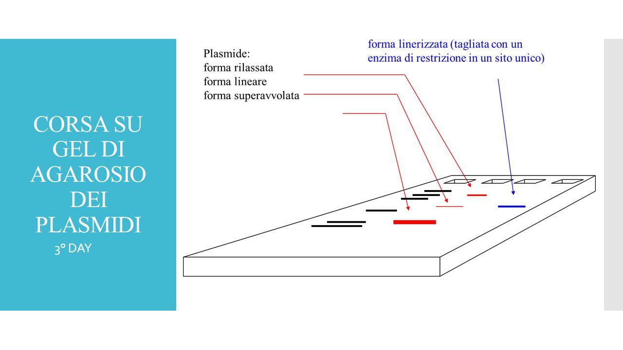CORSA SU GEL DI AGAROSIO DEI PLASMIDI  3° DAY