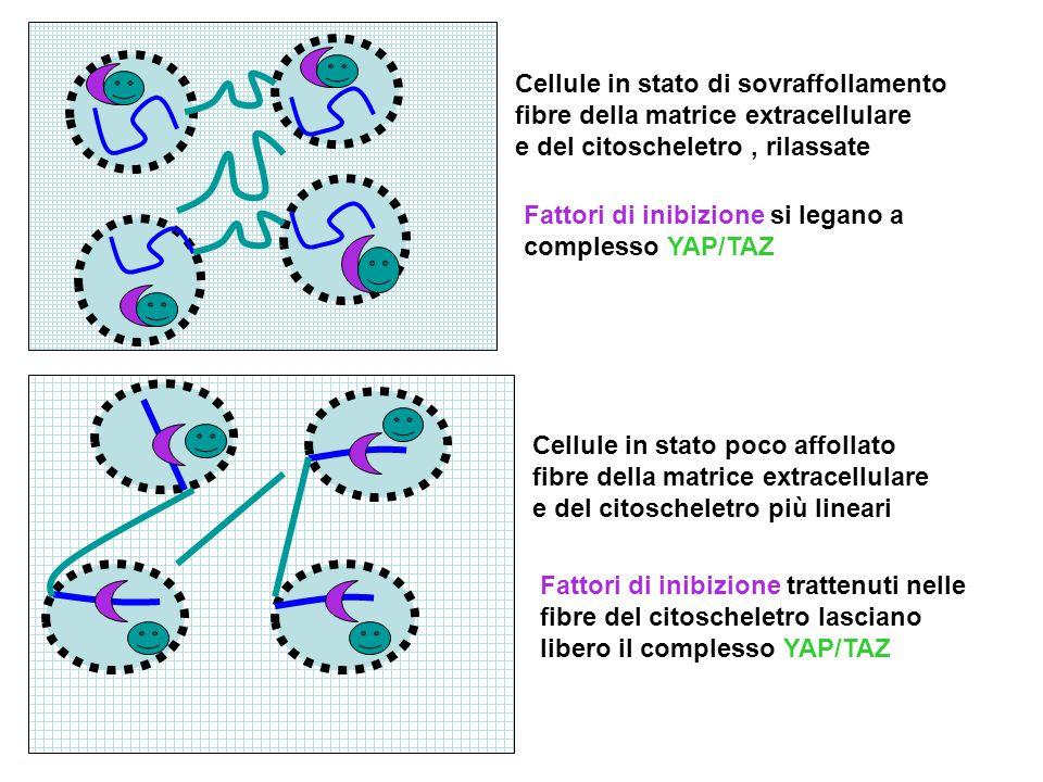Cellule in stato di sovraffollamento fibre della matrice extracellulare e del citoscheletro, rilassate Cellule in stato poco affollato fibre della mat