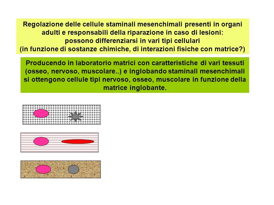 Regolazione delle cellule staminali mesenchimali presenti in organi adulti e responsabili della riparazione in caso di lesioni: possono differenziarsi