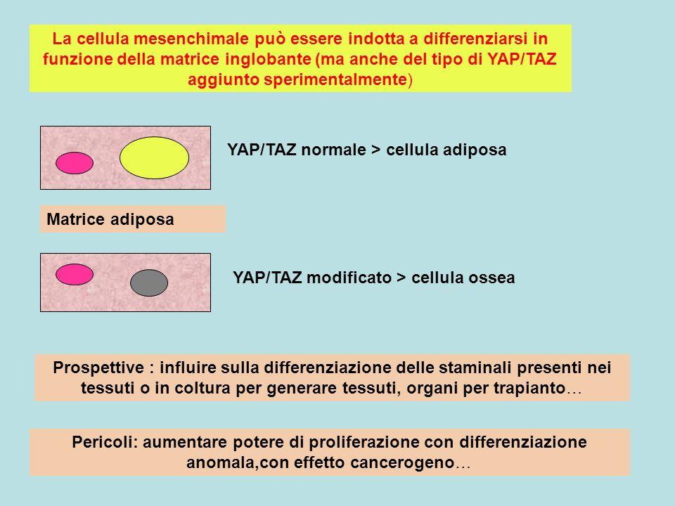 Matrice adiposa YAP/TAZ normale > cellula adiposa YAP/TAZ modificato > cellula ossea La cellula mesenchimale può essere indotta a differenziarsi in fu