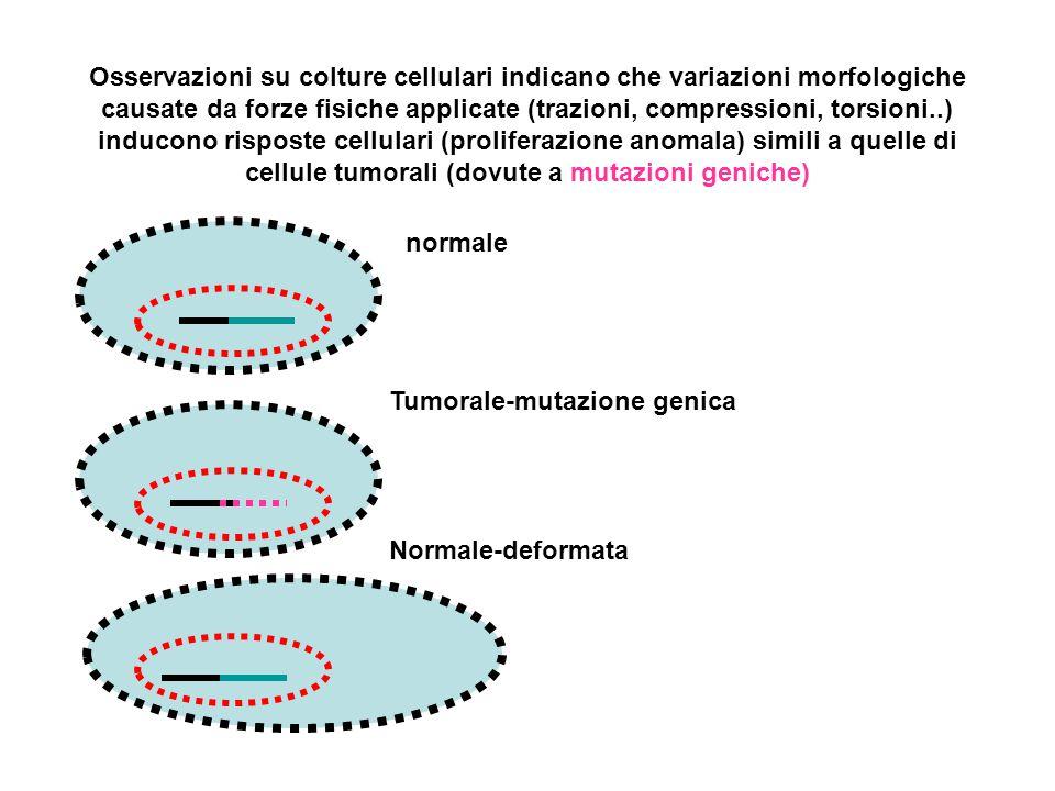 Osservazioni su colture cellulari indicano che variazioni morfologiche causate da forze fisiche applicate (trazioni, compressioni, torsioni..) inducon