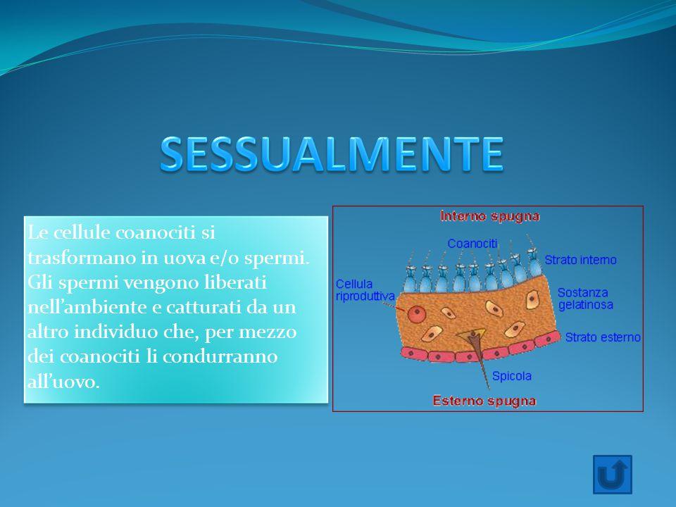 Le cellule coanociti si trasformano in uova e/0 spermi. Gli spermi vengono liberati nell'ambiente e catturati da un altro individuo che, per mezzo dei