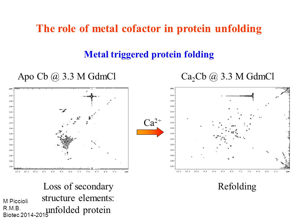 Ca 2+ Apo Cb @ 3.3 M GdmCl Loss of secondary structure elements: unfolded protein Refolding Ca 2 Cb @ 3.3 M GdmCl The role of metal cofactor in protein unfolding Metal triggered protein folding M Piccioli R.M.B.