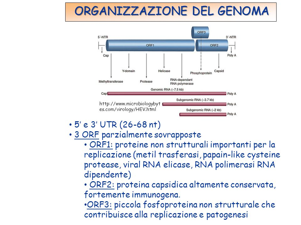 http://www.microbiologybyt es.com/virology/HEV.html ORGANIZZAZIONE DEL GENOMA 5' e 3' UTR (26-68 nt) 3 ORF parzialmente sovrapposte ORF1: proteine non