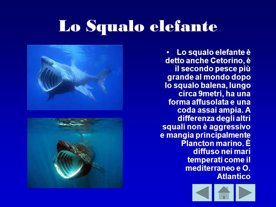 Lo Squalo elefante Lo squalo elefante è detto anche Cetorino, è il secondo pesce più grande al mondo dopo lo squalo balena, lungo circa 9metri, ha una forma affusolata e una coda assai ampia.
