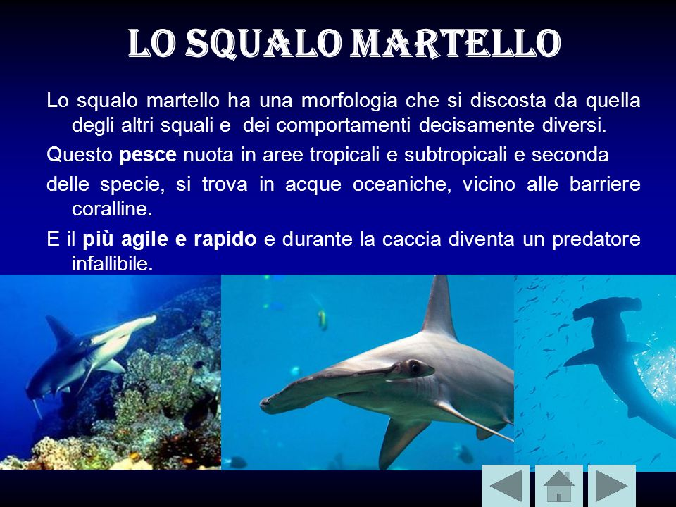 Lo squalo martello Lo squalo martello ha una morfologia che si discosta da quella degli altri squali e dei comportamenti decisamente diversi.