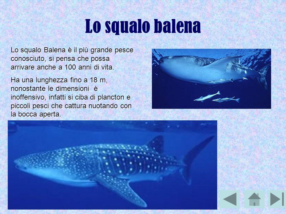 Lo squalo balena Lo squalo Balena è il più grande pesce conosciuto, si pensa che possa arrivare anche a 100 anni di vita.