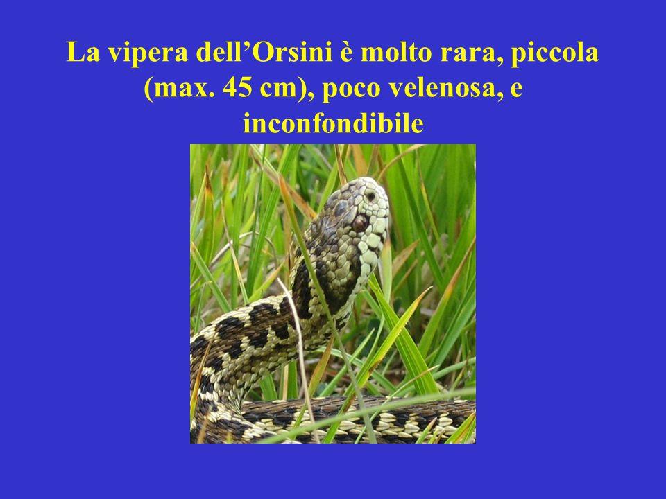 La vipera dell'Orsini è molto rara, piccola (max. 45 cm), poco velenosa, e inconfondibile