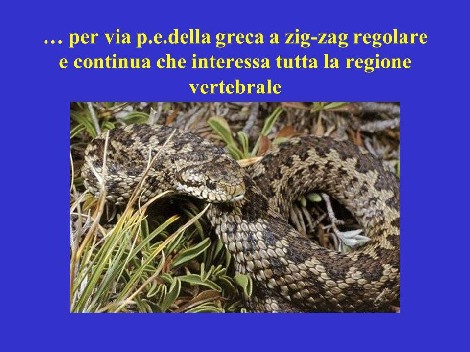 … per via p.e.della greca a zig-zag regolare e continua che interessa tutta la regione vertebrale