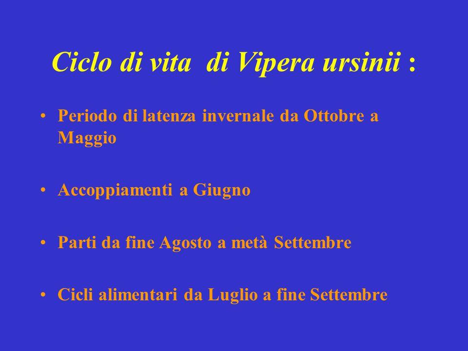 Ciclo di vita di Vipera ursinii : Periodo di latenza invernale da Ottobre a Maggio Accoppiamenti a Giugno Parti da fine Agosto a metà Settembre Cicli